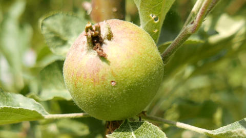 Unripe Green Apple on an Early Summer Day Stock Video Footage