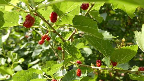 4K Unripe Rubus on an Early Summer Day 2 Live Action