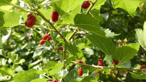 4K Unripe Rubus on an Early Summer Day 2 Stock Video Footage