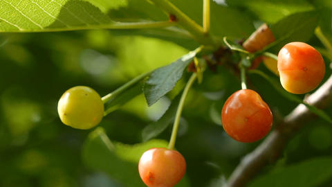 Unripe Sour Cherry on an Early Summer Day Stock Video Footage