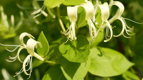 4K Japanese Honeysuckle Lonicera Japonica Flowers Stock Video Footage
