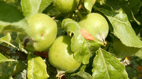 Unripe Green Apples on an Early Summer Day 1 Stock Video Footage