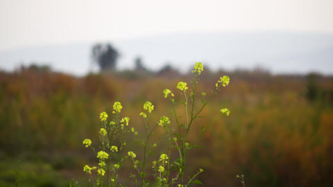 Stock Video Footage of yellow flowers in a field near Galilee shot in Israel at  Footage