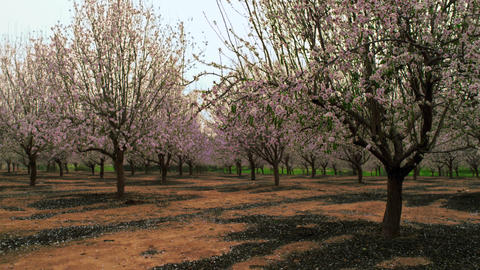 Royalty Free Stock Video Footage of blooming orchard rows shot in Israel at 4k w Footage