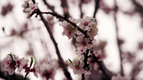 Stock Video Footage of white and pink blossoms on branches shot in Israel at 4k  Footage