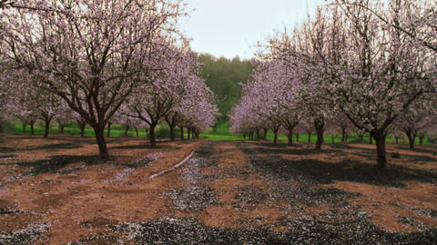 Royalty Free Stock Video Footage of a blooming pink orchard shot in Israel at 4k Footage