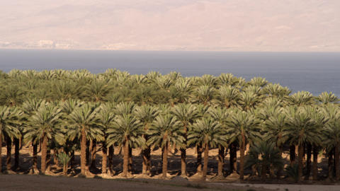 Royalty Free Stock Video Footage of a palm orchard at the Dead Sea shot in Israe Footage