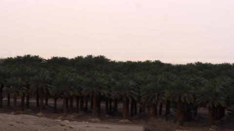 Stock Video Footage panorama of a palm grove at the Dead Sea shot in Israel at 4 Footage