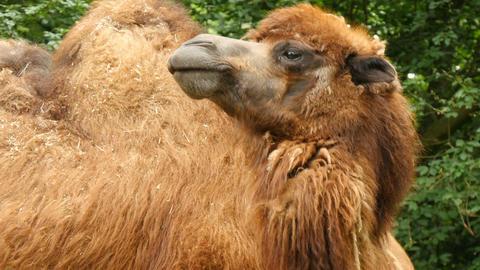 Bactrian camel (Camelus bactrianus) closeup Footage