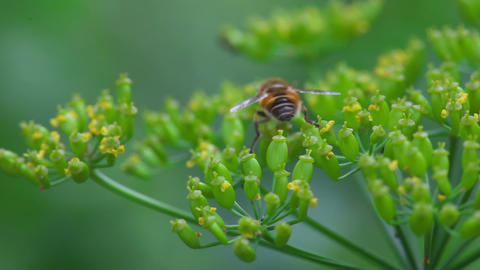 Fly on dill inflorescence Footage