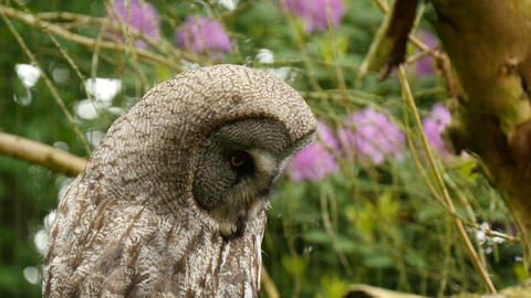 Great grey owl closeup Live Action