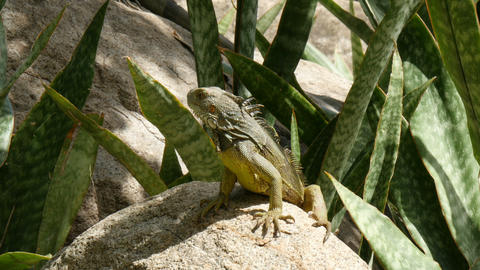 iguana warming up in the sun Live Action