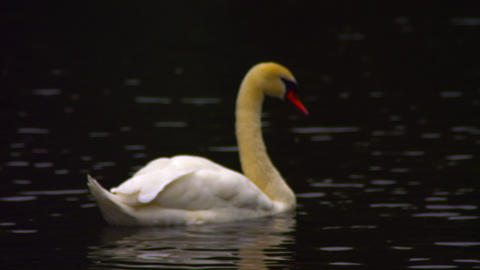 Lonely swan on a lake Footage