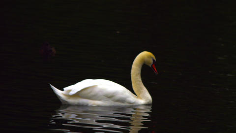 Swan gliding over lake Footage
