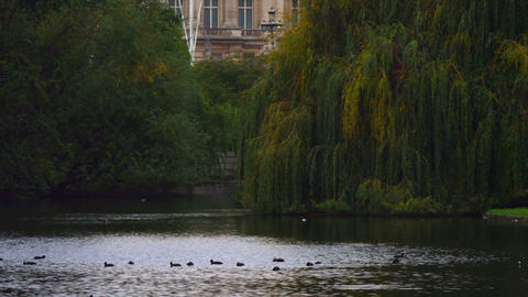 Ducks in Saint James Park Footage