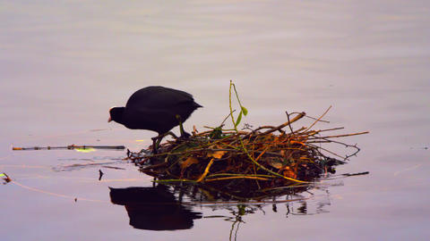 Coot leaving its nest Footage