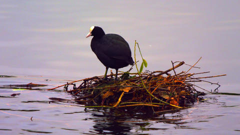Coot in its nest on water Footage