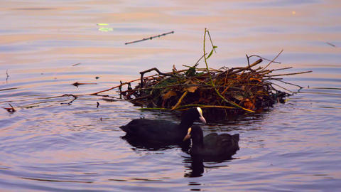 Three coots looking for food by the nest Footage