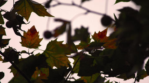 Refocusing on maple leaves close-up Footage