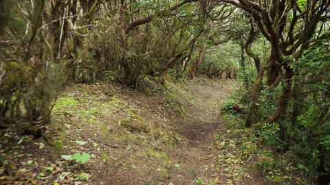 Rainforest jungle path. Rainforest in anaga mountains, Tenerife, Canary islands Live Action