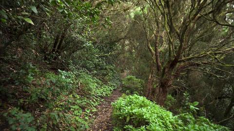 Rainforest jungle path. Rainforest in anaga mountains, Tenerife, Canary islands Footage