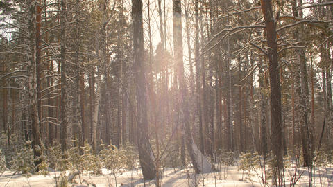 Slow motion snowflake falling in snowy forest on sunlight background Footage