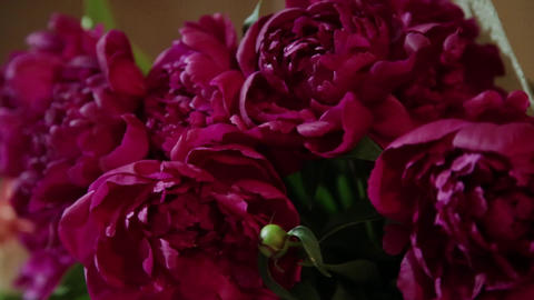 Buds of pink roses as a background. Camera movement on flower petals Footage