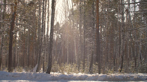 Winter forest on sunshine background. Snowfall in sunny forest at winter day Footage