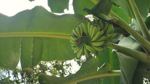 Baby bananas in the banana tree Footage