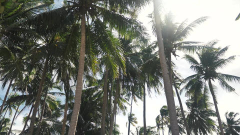 Coconut trees plantation tilt from the top untill the ground Footage