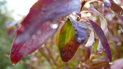4K Aututmn Laburnum Leaves Stock Video Footage