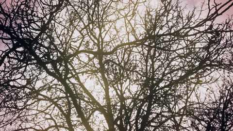 4K Old Tree in Early Winter Silhouette Stock Video Footage