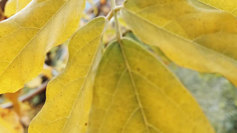 Japanese Acacia Wisteria Leaves in the Fall Stock Video Footage