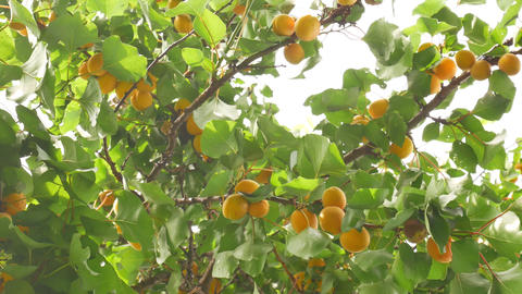 Apricot Tree in Summer Live Action