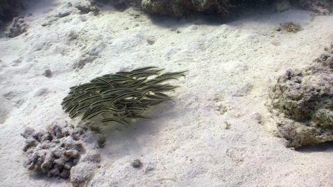 Shoal Juvenile Fish on Coral Reef, Red sea Stock Video Footage
