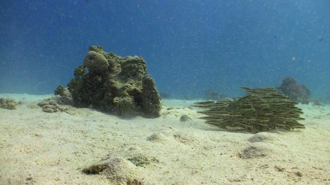 Shoal Juvenile Fish on Coral Reef, Red sea Footage
