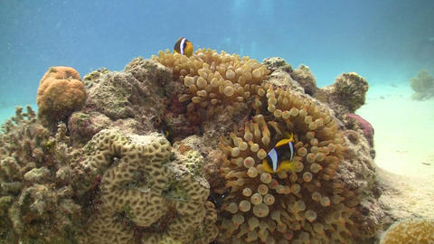 Clown Anemonefish on Coral Reef, Red sea Stock Video Footage
