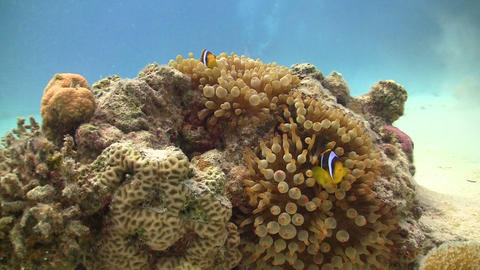 Clown Anemonefish on Coral Reef, Red sea Footage