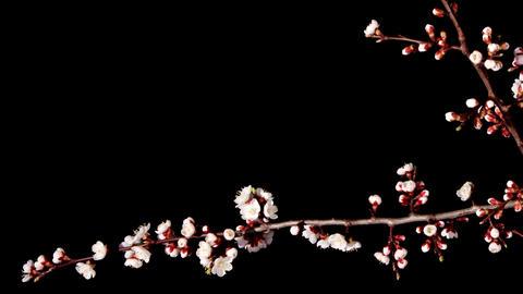 Flowering apricot on the black background, timelapse (Armeniaca vulgaris L.) Footage