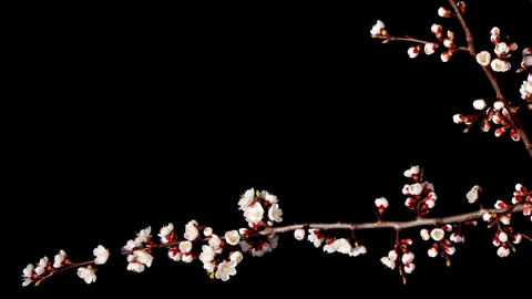 Flowering apricot on the black background, timelapse... Stock Video Footage