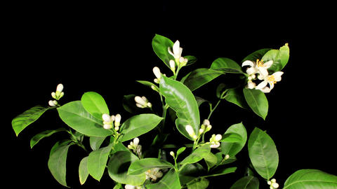 Lemon blossoms on the black background (Citrus limon L.) timelapse Footage