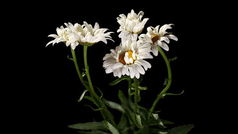 Blooming white daisies on the black background (Leucanthemum) timelapse Footage