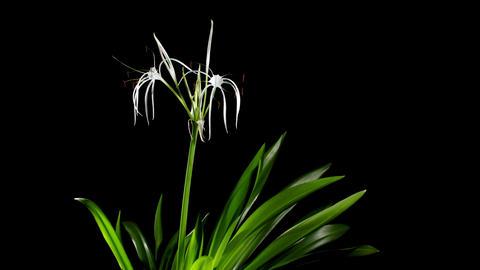 Time-lapse Opening white amaryllis (Amaryllis. Hymenocallis. caribaea Herb) Footage