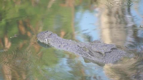 Crocodile Opening Mouth To Bask Alligator (yacar) stock footage