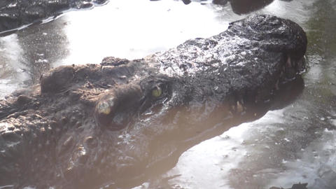 Crocodile opening mouth to bask Alligator (yacar) Footage