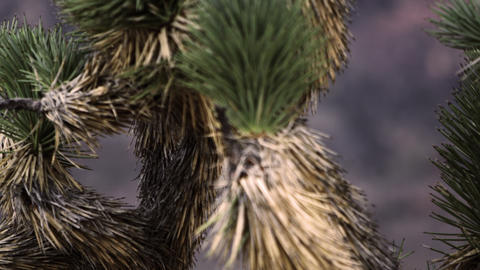 Close up of joshua tree needles Footage