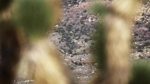 Racking-focus footage of joshua tree and hillside behind it Footage