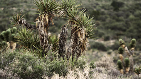 Pan of desert plants, including joshua tree, creosote, and brush Footage