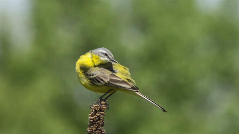 Yellow wagtail 8 Footage
