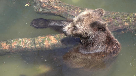 Brown bear bath in water at summer day Live Action